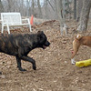 LUCIUS (italian mastiff teen) & SHAMUS (basenji)