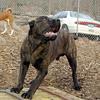 LUCIUS (italian mastiff teen)