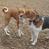 chelsea (beagle), Chloe (basenji)