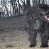 DORA (portuguese water dog) 2