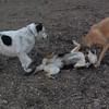 BUFFY & MADDIE, Marley (boy pup) 2
