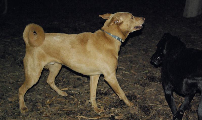 CHARLIE (dingo type, 9 mo )