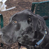 HARLY (great dane) 2