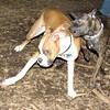 mocha & bubba (boxer pup) 5