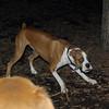 BUBBA (boxer pup) 9