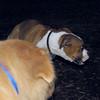 BUBBA (boxer pup) 5