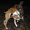 mocha & bubba (boxer pup) 11