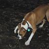 BUBBA (boxer pup) 3