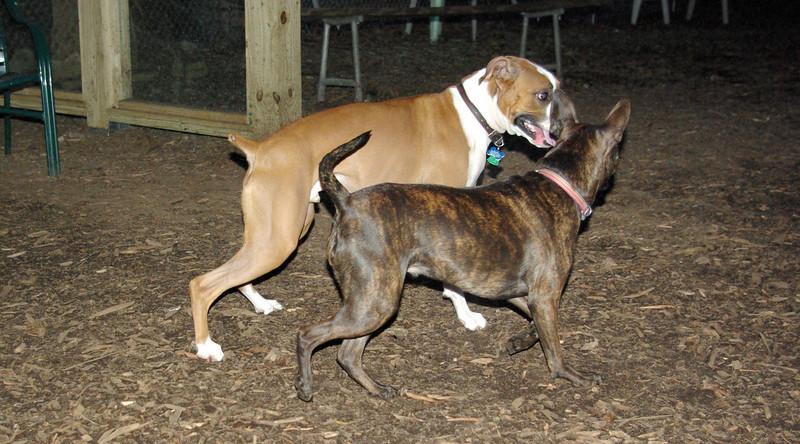 mocha & bubba (boxer pup) 8
