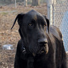 HARLY (great dane)