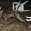 mocha & bubba (boxer pup) 14