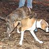 mocha & bubba (boxer pup) 2
