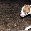 BUBBA (boxer pup) 4