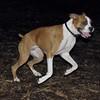BUBBA (boxer pup) 8