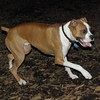 BUBBA (boxer pup) 10