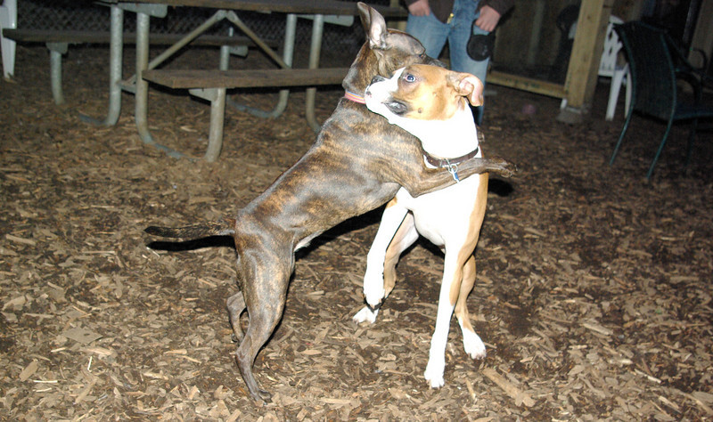 mocha & bubba (boxer pup) 6
