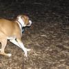 mocha & bubba (boxer pup) 4