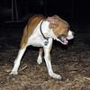 BUBBA (boxer pup) 6