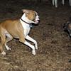 mocha & bubba (boxer pup) 13