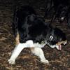 OLIVER (australian shepherd boy) 3