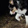 OLIVER (australian shepherd boy) 4