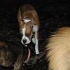 BUBBA (boxer pup) 2