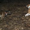 mocha & bubba (boxer pup) 12