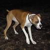 BUBBA (boxer pup) 7