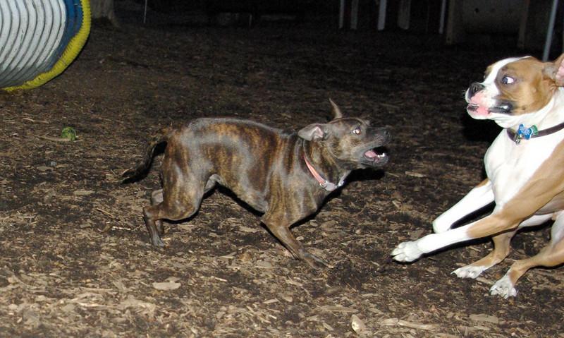 mocha & bubba (boxer pup) 9