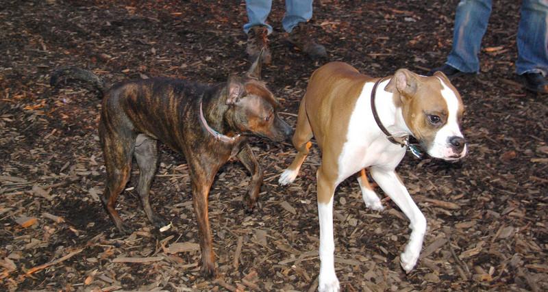 mocha & bubba (boxer pup)