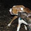 mocha & bubba (boxer pup) 10