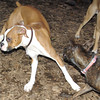 mocha & bubba (boxer pup) 3
