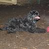 DORA (portuguese water dog) 3