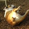 BUDDY (bulldog pup)