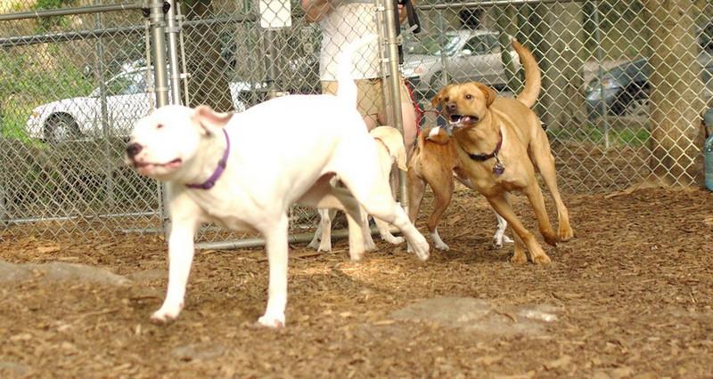 casey, powder (white pitbull girl)