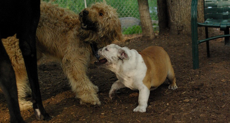 WALLY, Buddy (bulldog) 6 (PIC)