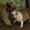 WALLY, Buddy (bulldog) 6 (PIC)