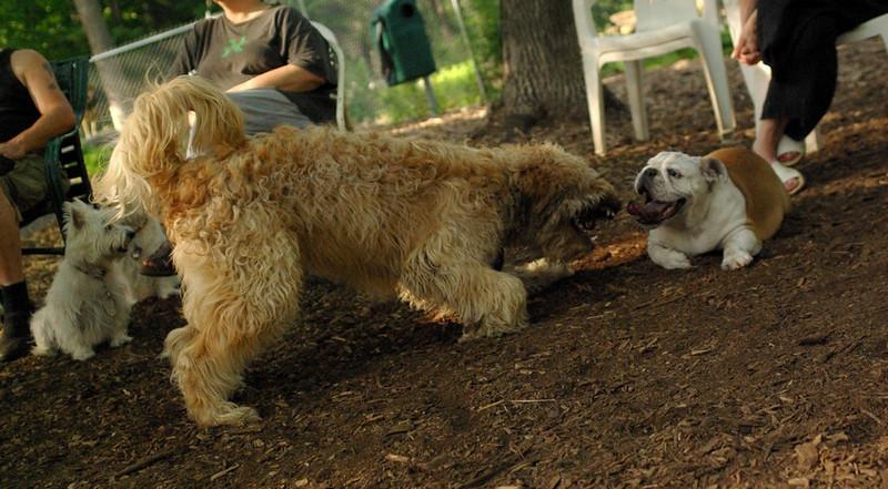 WALLY, Buddy (bulldog) 5 (PIC)