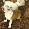 BUDDY (bulldog pup) 2
