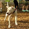 POWDER (white pitbull girl)