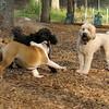 JET, BAILEY (wheaton), Buddy (bulldog)(PIC)