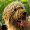 WALLY (goldendoodle) 2