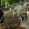 Isabella, Buddy (bulldog pup)