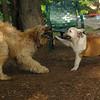 WALLY, Buddy (bulldog) (PIC)