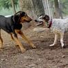 Lulu, Sammy (hounds) (A) JULY2