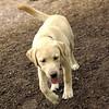 FRASER (puppy lab)