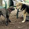 NOLA (brindle pup) , Maddie