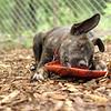 NOLA (brindle pup, spencer) (PUP)