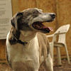BANNER (plott hound mix) 5
