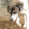 BANNER (plott hound mix)